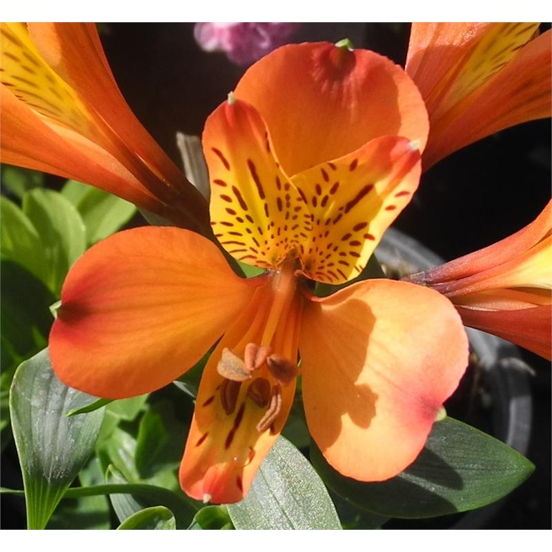 140mm Peruvian Lily Alstroemeria Bunnings Warehouse